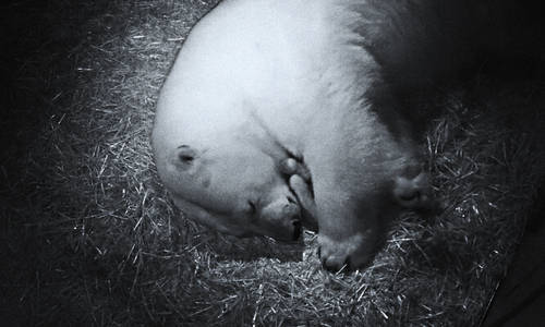 Sea World Celebrates arrival of Twin Polar Bear Cubs
