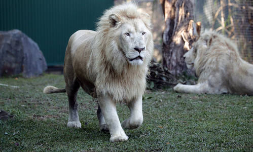 Big Cat Visitors Take Pride of Place at Dreamworld