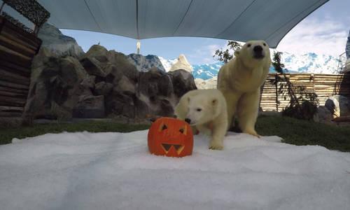 Polar Bear Cub Mishka celebrates Halloween