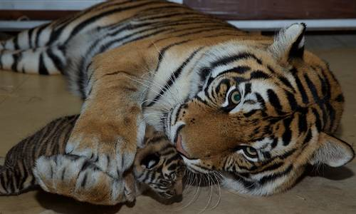 Dreamworld Cubs Show Their Stripes to The Public