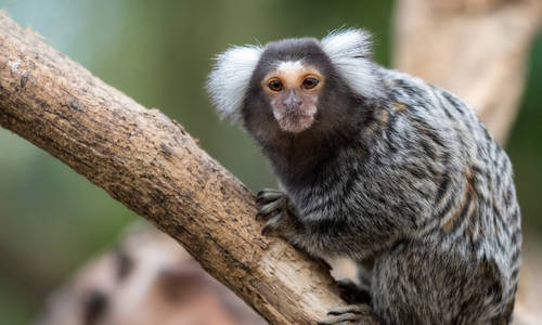 Monkey Madness comes to Paradise Country