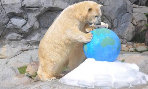 Polar Bears at Sea World Celebrate  International Polar Bear Day