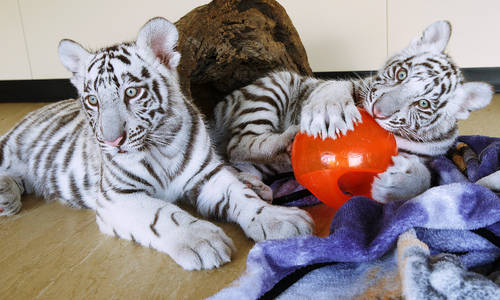 Dreamworld welcomes cubs as plans to upgrade Tiger Island surface