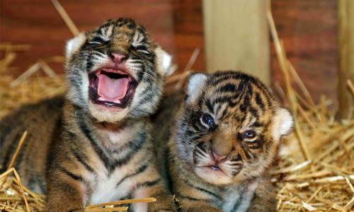 New tiger cubs on display from tomorrow