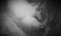 Polar Bear Cub – It's a Girl!