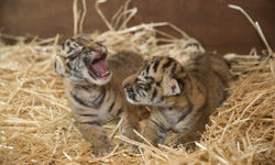 Dreamworld Welcomes Two Baby Tiger Cubs