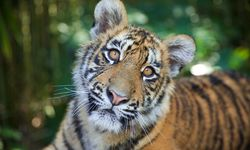Tiger cubs Melati and Mya to leave Dreamworld