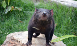 Tasmanian Devils join the Paradise Country family