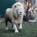 Big Cat Visitors Take Pride of Place at Dreamworld