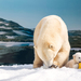 Sea World Polar Bear Cub – Meet Mishka