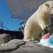 Sea World's Polar Bear Cub Mishka Celebrates her First Birthday