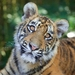 Tiger cubs Melati and Mya to leave Dreamworld